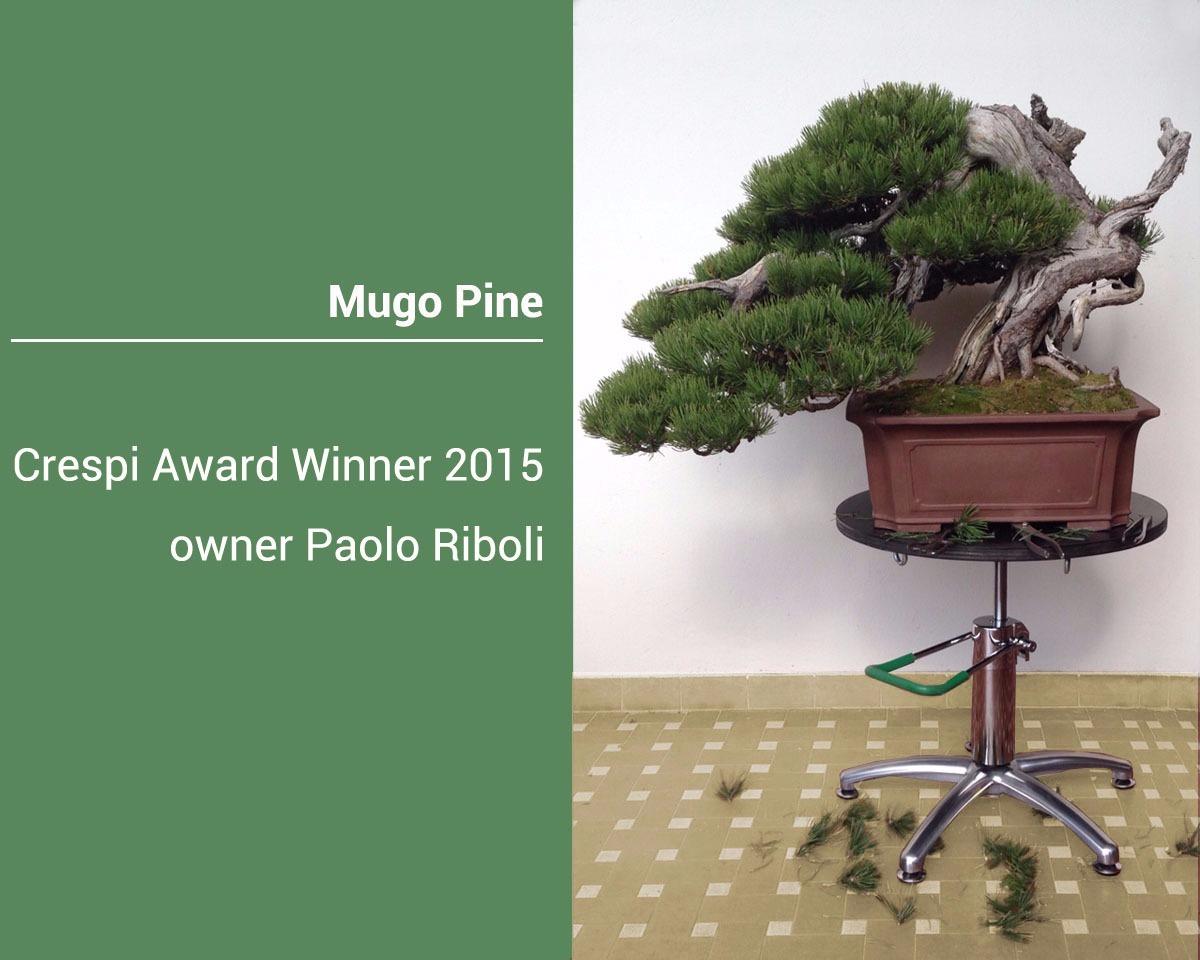 Bonsai-Mugo-pine.