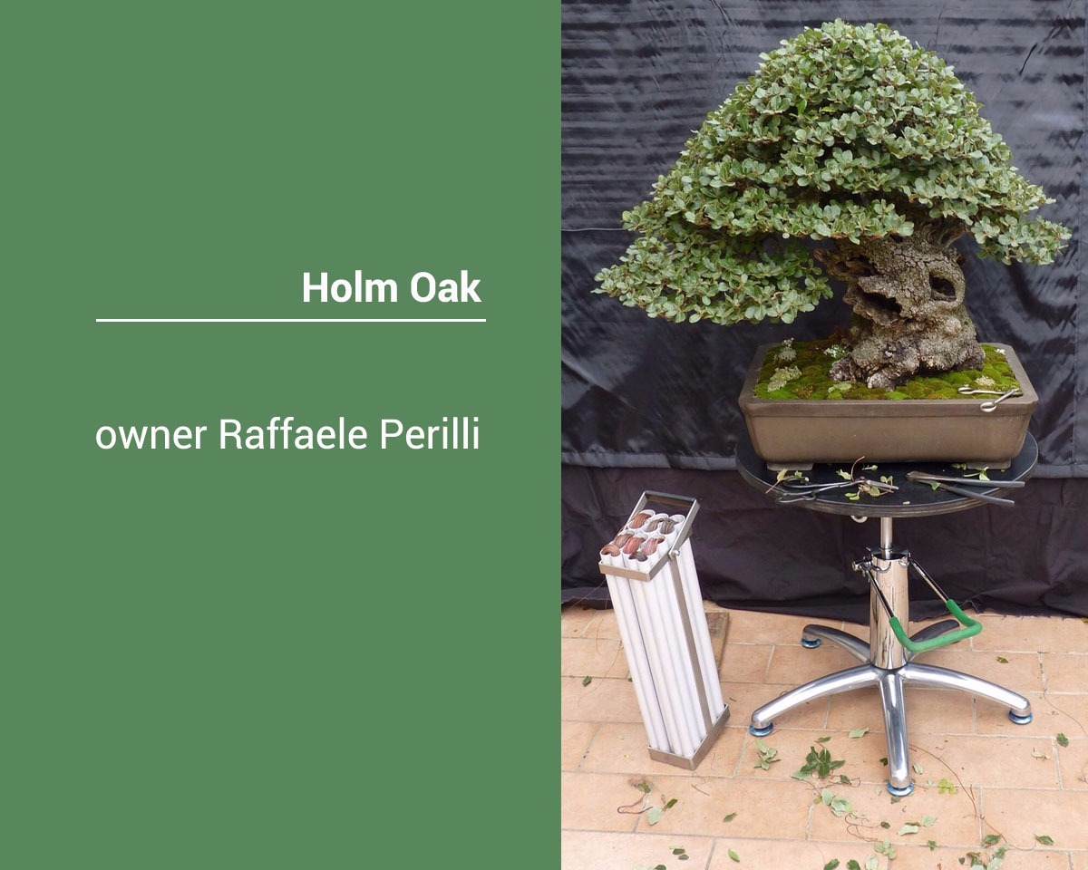 bonsai-Holm-oak